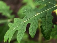 005 Solanum sisymbriifolium, unilook-maavits. Foto: Urmas Saard