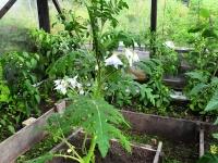 006 Solanum sisymbriifolium, unilook-maavits. Foto: Urmas Saard