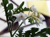 007 Solanum sisymbriifolium, unilook-maavits. Foto: Urmas Saard