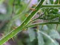 010 Solanum sisymbriifolium, unilook-maavits. Foto: Urmas Saard