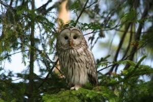 Ka seda lindu peaksid metsatundjad teadma - händkakk.