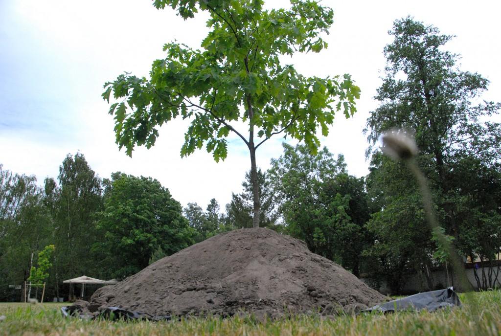 2016. aastal istutasid Eesti president Toomas Hendrik Ilves ja proua Ieva Ilves punase tamme Pärnu Rannaparki. Foto Urmas Saard