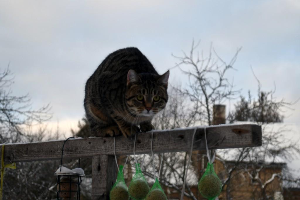 Hulkurkass lindude toidulaual Foto Urmas Saard