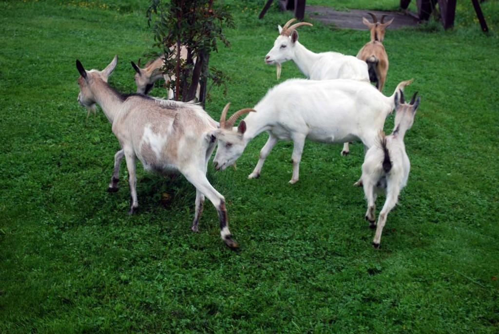 Illustratiivne pilt loomade aedikust Foto Urmas Saard