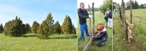 Kolga Kooli õpilased puhastasid kadakatest muistsetel põldudel olevad lammaste karjamaad ning ehitasid nendest roigasaia, Fotod: Liis Veersalu ja Melika Kindel.
