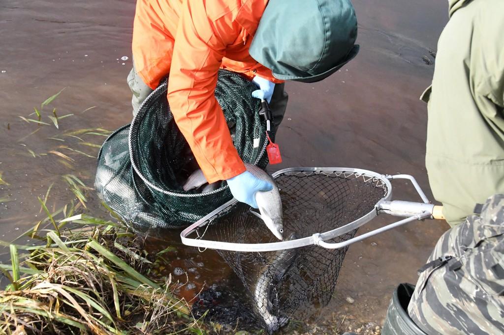 Lõhe kohta tehtavad teaduslikud uuringud Pärnu jões. Foto Urmas Saard