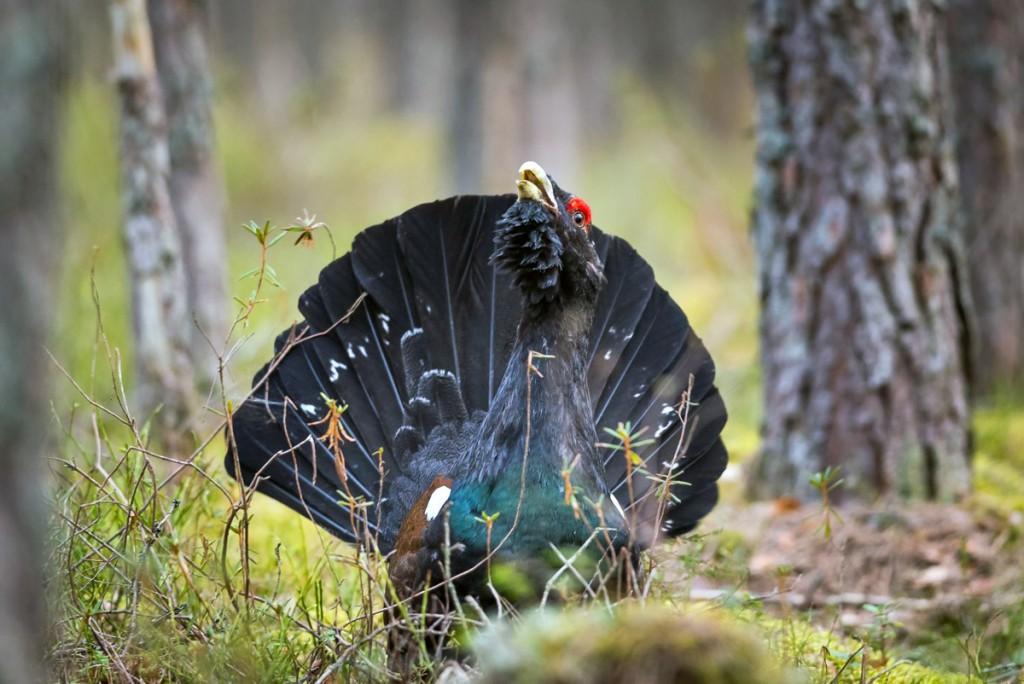 Metsisekukk Foto Jaanus Tanilsoo