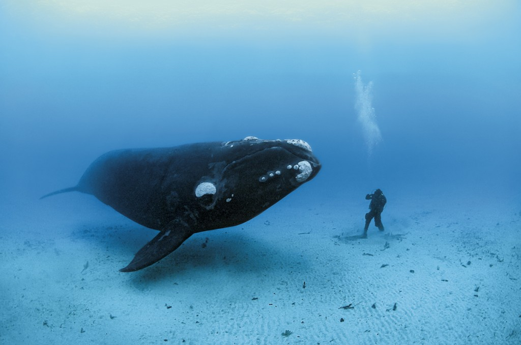 OCEAN SOUL RIGHT WHALE / FOTOGRAAF BRIAN SKERRY / NATIONAL GEOGRAPHIC