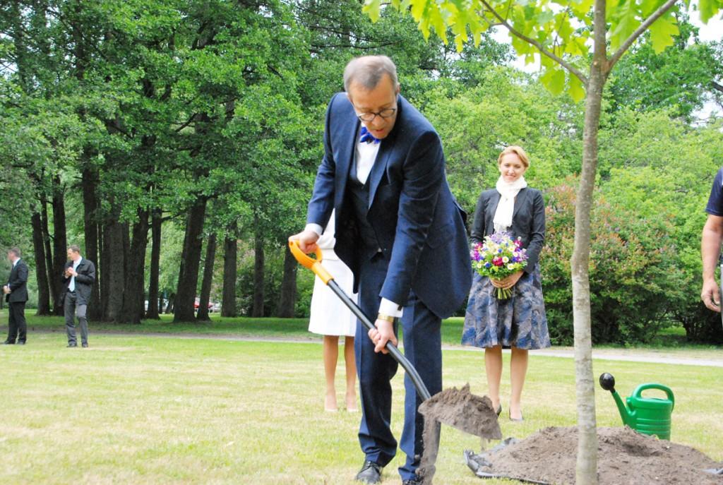 President Toomas Hendrik Ilves istutab Pärnus punase tamme Suvituse tänava ja Estonia termide vahelisele rohealale Foto Urmas Saard