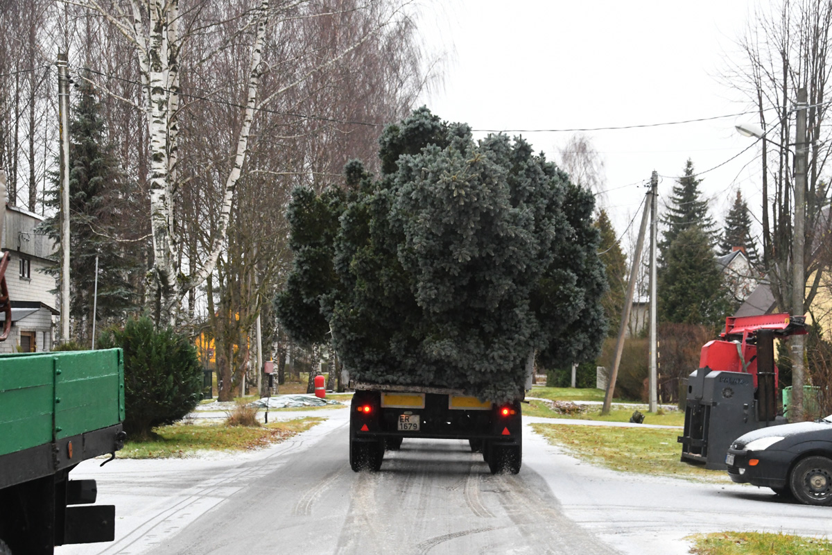 a15f1816a4d Sindis Pikal tänaval kasvanud hõbekuusk sõidab jõulupuuna sotsiaalkeskuse  hoone juurde Foto Urmas Saard