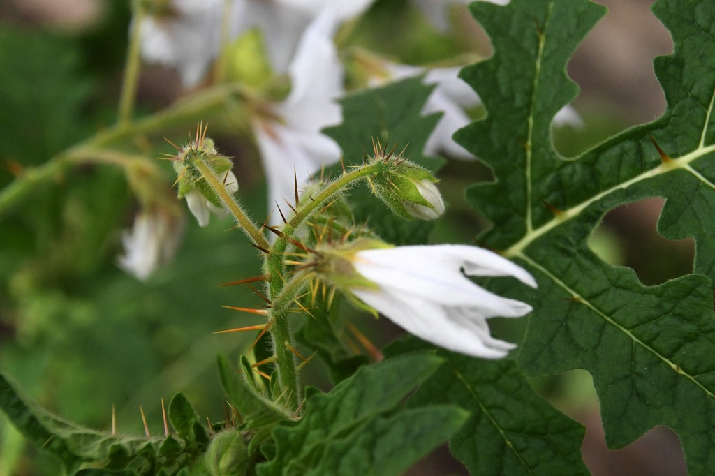 Solanum sisymbriifolium. Foto Urmas Saard