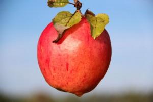Vili Hea ja Kurja Tundmise puult küsib: kus on madu või õunauss? Foto: Kylauudis.ee