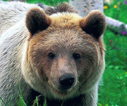 Karu on Brown Bear