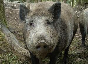 Metssiga. Foto: wikimedia.
